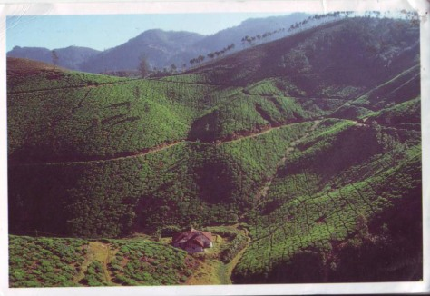 India-UNESCO-Munnar Kerala-tea gardens